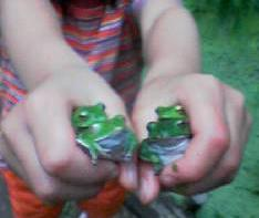 Frog_couples_1
